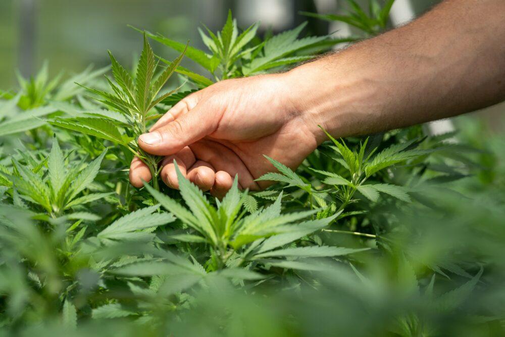Czy marihuana pomoże w walce z koronawirusem?