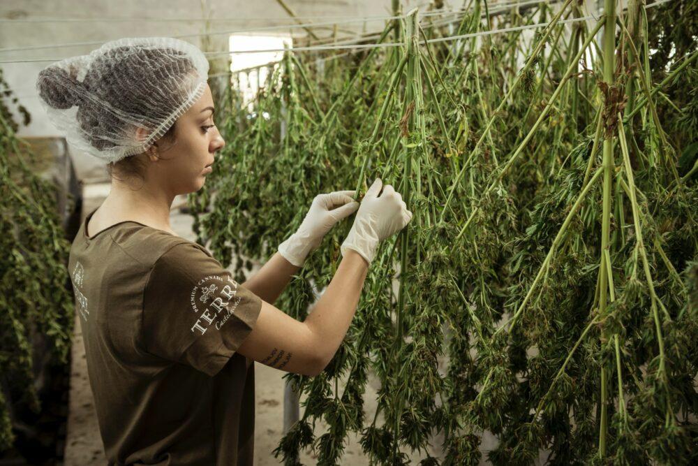Rodzaje konopi, gatunki marihuany – kompendium