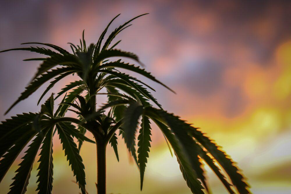 Zagraniczna podróż z medyczną marihuaną
