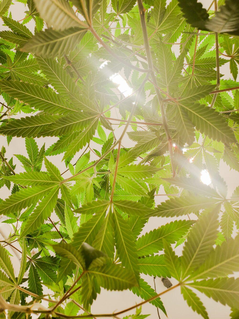 """""""Kompleksowy przegląd marihuany leczniczej, kannabinoidów, i implikacje terapeutyczne w medycynie i bólu głowy: Co za długa, dziwna podróż…"""""""