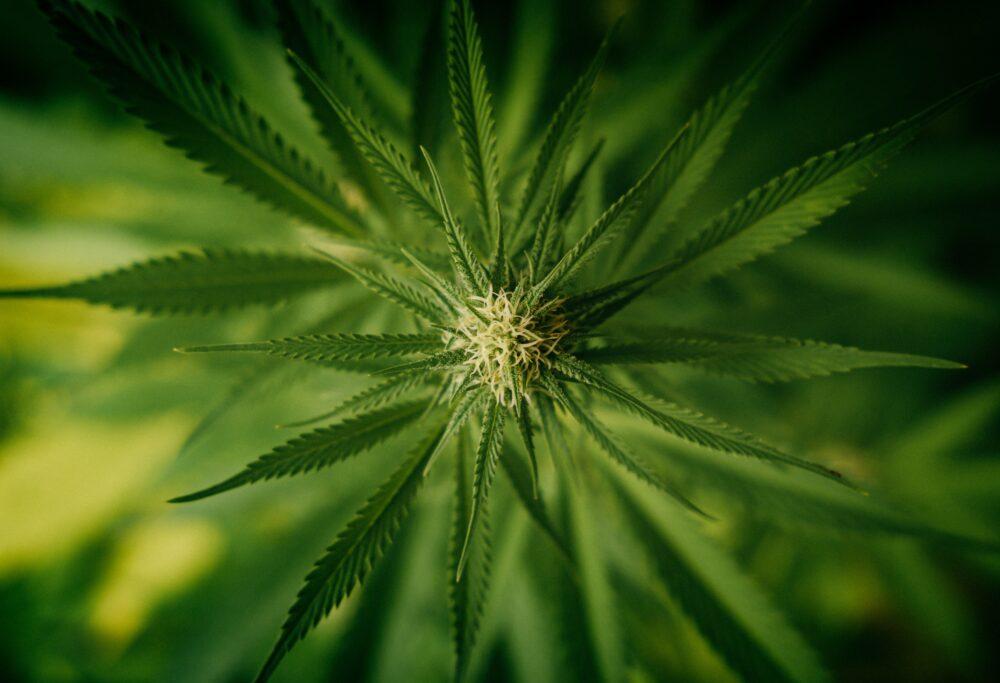 Marihuana medyczna w leczeniu przewlekłego bólu i innych zaburzeń: nieporozumienia i fakty